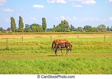 heste, grøn eng