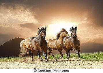 heste, løb
