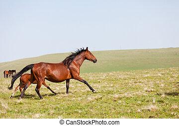 heste, løb, på, en, bjerg græsgang, caucasus, rusland