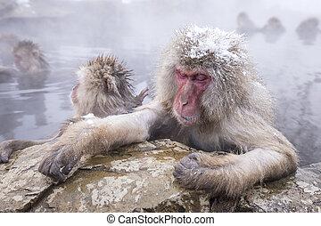 het baden, aap, hotspring, jigokudani, onsen, sneeuw,...