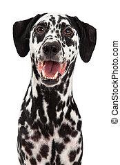 het glimlachen, dalmatian, dog, vrolijke