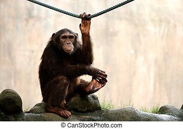 het kijken, aap
