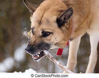 het kijken, agressief, dog, stok