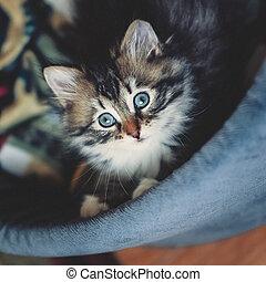 het kijken, bed, katje, schattig, siberisch, nieuwsgierig, kat