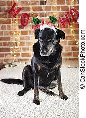het kijken, dog, verdrietige , dons, kerstmuts