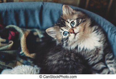 het poseren, bed, katje, schattig, elegantly, siberisch, kat