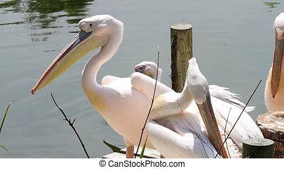 het rusten, groep, su, pelicans