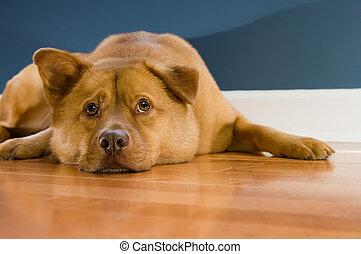 het rusten, vloer, loofhout, dog, op, het kijken, terwijl