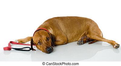 het slapen hond