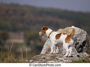 het staan stenig, russell, natuur, aanhalen, -, dog, vrije tijd, dommekracht