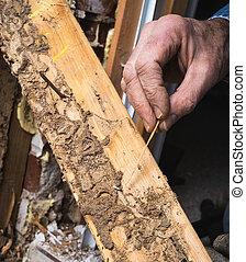 het tonen, termiet, hand, leven, hout, closeup, beschadigen,...