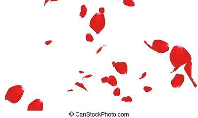het vallen, kroonbladen, van, rozen