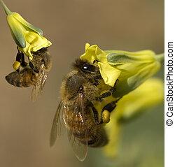 het verzamelen, stuifmeel, werkende, organisch, tuin, lente, gele, honing, bijtjes, bloemen, broccoli