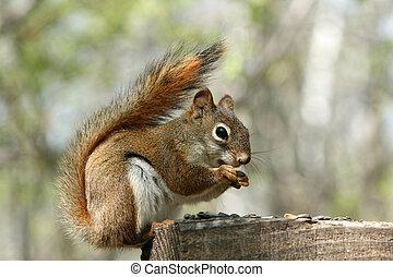 het verzamelen, zaden, squirrel, rood