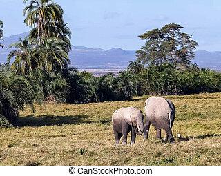 het voeden, koe, amboseli, samen, olifants kalf
