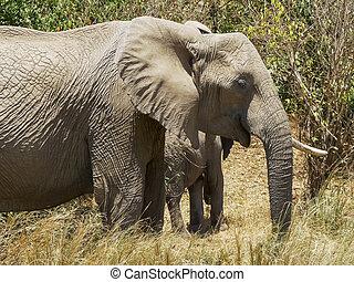 het voeden, olifanten, masai, kudde, kenia, mara