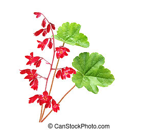 Heuchera Coral Bell flower isolated on white