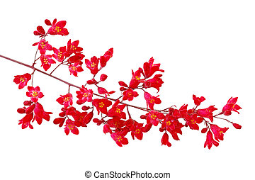 Heuchera Red Bell - Heuchera sanguinea coral Red bell Flower...