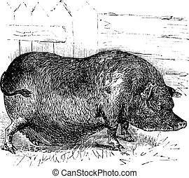 Heude's Pig or Indochinese Warty Pig or Vietnam Warty Pig or...