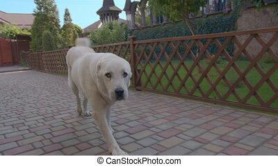 heureux, chouchou, mignon, chien, remuer, sien, tail., ...