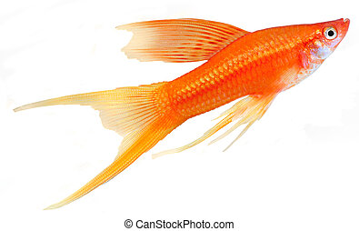 Hi Fin Lyretail Swordtail isolated on white background