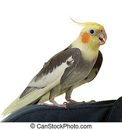 Hi from Cockatiel, on white