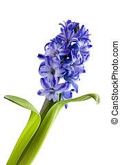 hiacynt, kwiaty
