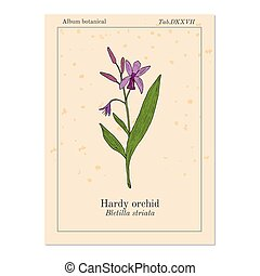 hiacynt, roślina, bletilla, striata, odważny, lekarski, albo...