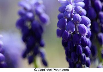 hiacynt, winogrono