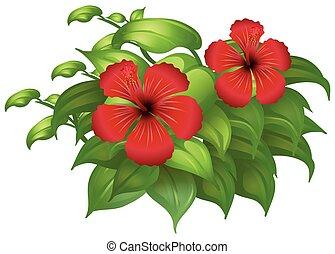 hibicus, blumen, grün, busch, rotes