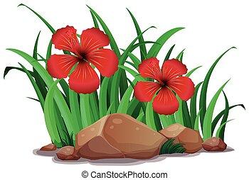 hibicus, bush, vermelho