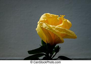 hibisco, branca, fundo amarelo