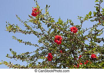 hibisco, chino, (hibiscus, rosa-sinensis)