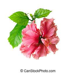 hibisco, flor, aislado, en, un, fondo blanco