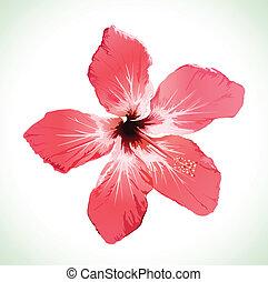 hibisco, flor, flor, vector, ilustración
