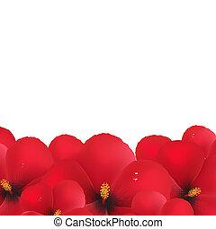 hibisco, flores, borda, vermelho