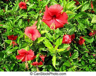 hibisco, rojo