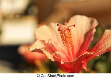 hibisco, rosa-sinensis, flor, sob, a, sol