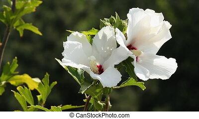 Hibiscus 8 - White hibiscus flower.