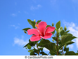 hibiscus against the blue sky