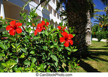 Hibiscus in front of a house/hotel in a nice tropical garden