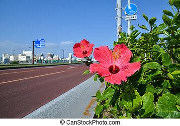 Hibiscus at road side at Meiji Bridge in Naha at the japanese island Okinawa
