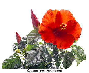 hibiscus, backgr, fleur, rouges, tas