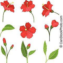 hibiscus, beau, feuilles, fleurs, ensemble, vecteur, illustré