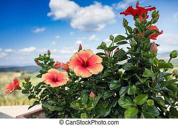hibiscus, bloeiend, plant., graden