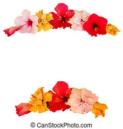 hibiscus, bloem, frame