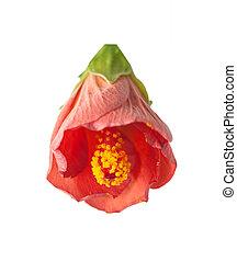 hibiscus, bloem, rood, vrijstaand