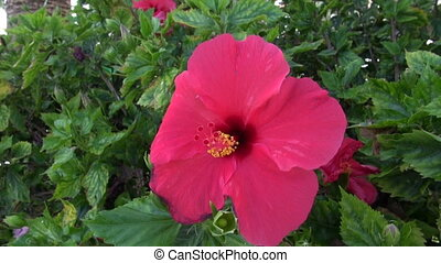 hibiscus blossom in wind - Pink hibiscus flower blossom...