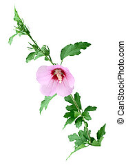 Hibiscus branch