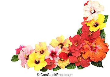 hibiscus, coin, fleurs